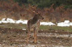 перелог dama самеца оленя Стоковое фото RF