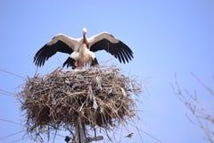 Перелётные птицы репортера новостей весны аистов Стоковое Фото