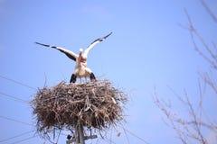 Перелётные птицы репортера новостей весны аистов Стоковая Фотография RF