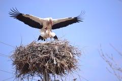 Перелётные птицы репортера новостей весны аистов Стоковое Изображение RF