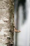 Переменчивая ящерица на стволе дерева Стоковое Изображение