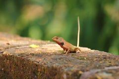 Переменчивая ящерица, рыжая ящерица Стоковые Фото