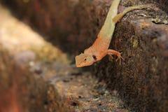 Переменчивая ящерица, рыжая ящерица Стоковое фото RF