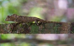 Переменчивая ящерица, ящерица, животные, природа, гады Стоковое Изображение RF