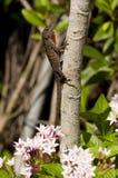Переменчивая ящерица Стоковое Изображение RF