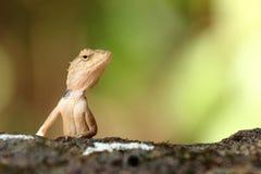 Переменчивая ящерица Стоковые Фото