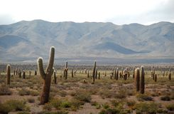 перемещать поля cardon кактуса Аргентины Стоковое Изображение RF