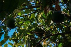 Перемещение вокруг Европы на автомобиле fruits померанцовый вал Мир заводов Греции стоковые фотографии rf