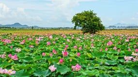 Перемещение Вьетнама, перепад Меконга, пруд лотоса Стоковые Фото