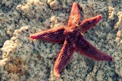 перемещение starfish собрания пляжа красное Стоковое фото RF