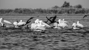 Перепад Дуная, Румыния, Европа, пеликаны стоковое фото