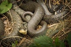 2 переплетаннсяых змейки травы лежа в солнце Стоковые Изображения RF
