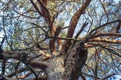 Переплетая ветви большого дерева стоковая фотография rf