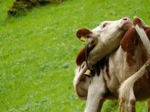 Переплетенная корова для того чтобы погнать прочь насекомые стоковое изображение