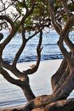 Переплетенное дерево океаном Стоковые Изображения RF