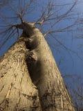 Переплетенное дерево смотря к небу к голубому небу стоковые фотографии rf