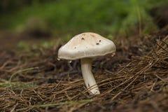 Переполняя шламистый стержень, грибок illinita Limacella стоковая фотография