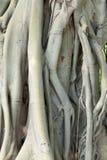 Переплетаннсяые корни дерева Стоковые Фото