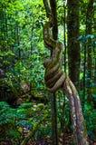 Переплетенная ветвь дерева, голубые горы, Австралия Стоковые Фото