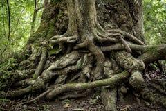 Переплетенные корни на truml деревьев в swamy Стоковое Изображение RF