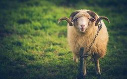 Переплетенные овцы рожков Стоковые Изображения RF