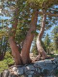 Переплетенные стволы дерева стоковые фото