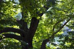 Перерастанное дерево в чудесном солнечном лесе стоковая фотография rf