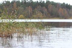 Перерастанное озеро reeds, озеро, лес осени Стоковая Фотография RF