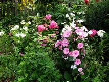 Перерастанный с просвирником цветков Стоковое Изображение RF