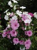 Перерастанный с просвирником цветков Стоковая Фотография