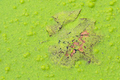 Перерост зеленых водорослей Стоковая Фотография