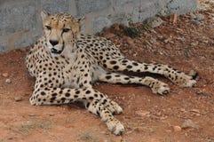 Перерыв гепарда Стоковая Фотография RF