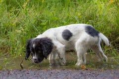 Перерыв щенка, молодой щенок имея взгляд в грязных лужицах стоковые изображения rf