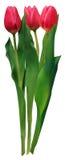 пересеченные тюльпаны пинка 3 Стоковые Изображения