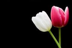 пересеченные тюльпаны стержней Стоковая Фотография