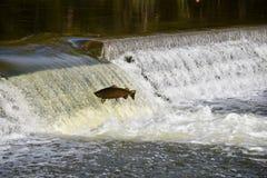 Перескакивать вверх по реке: Миграция падения семг Стоковое Фото
