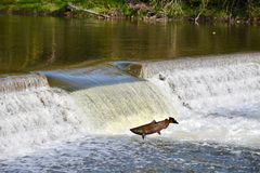 Перескакивать вверх по реке: Миграция падения семг Стоковая Фотография RF