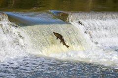 Перескакивать вверх по реке: Миграция падения семг Стоковые Изображения RF