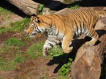 Перескакивать сибирского тигра стоковое изображение