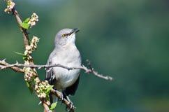 Пересмешник петь северный садить на насест в дереве Стоковое Изображение RF