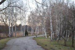 Переулок березы парка стоковое фото rf
