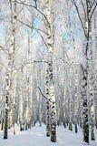 Переулок в лесе березы зимы Стоковое фото RF