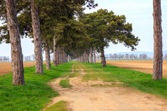 Переулок дерева в лете с тропой Стоковое Фото