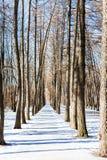 Переулок лиственницы в солнечном зимнем дне Стоковые Фото