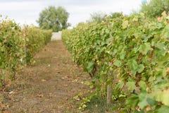 Переулок на винограднике Стоковое Изображение