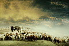 переходы овец скотин Стоковое Фото