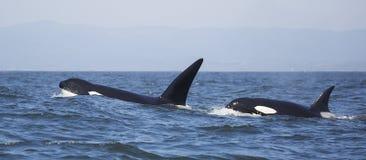 Переходные дельфин-касатки Стоковое Фото
