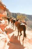 Переход осла идя вверх гранд-каньон Стоковое фото RF