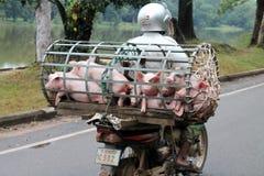 Переход свиньи в Камбодже Стоковые Изображения