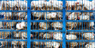 Переход цыпленка стоковые изображения